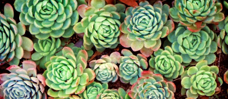Waldecks succulents