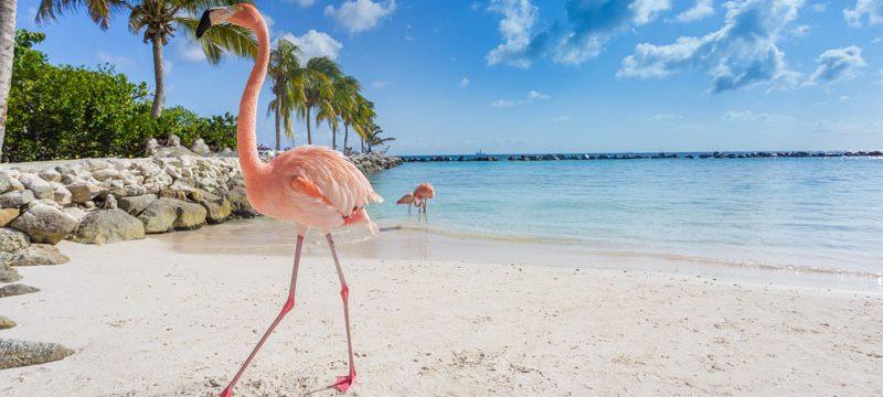 Caribbean Aruba island Flamingos on the beach