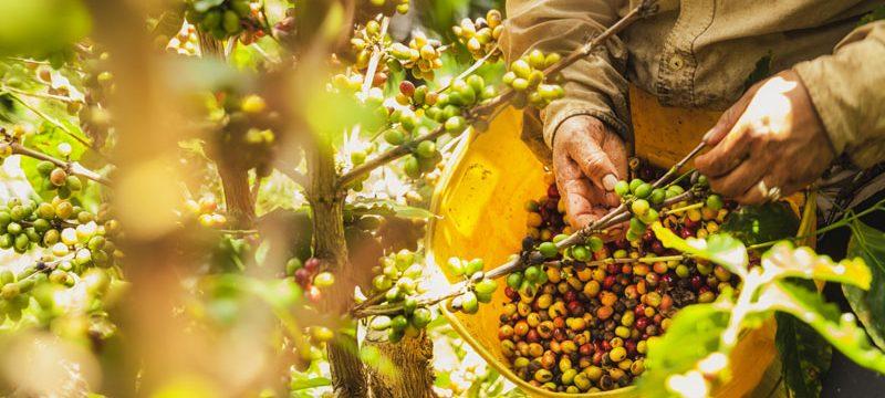 Colombia coffee plantation