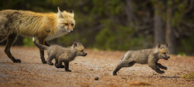 Wyoming Grand Teton National Park Two red fox kits play while their mother watches in