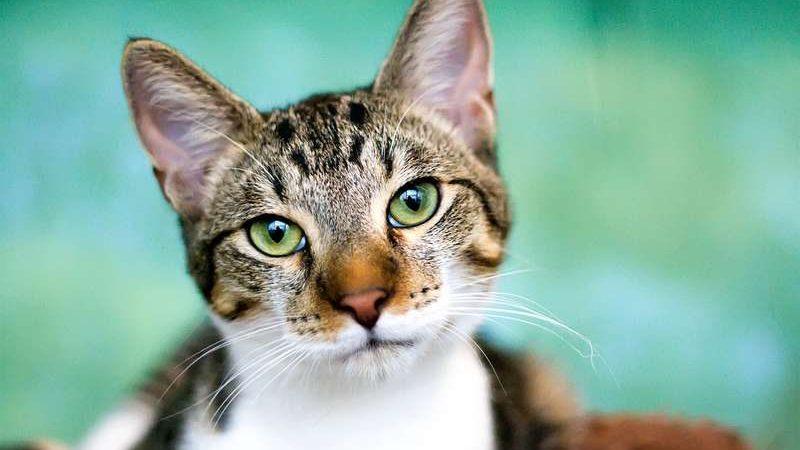 Domestic-feline-tabby-cat